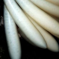 Squid eggs