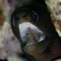 Gymnothorax miliaris