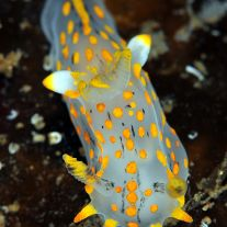 Polycera quadrilineata
