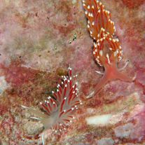 Two nudibranchs