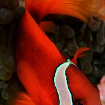 Amphiprion frenatus