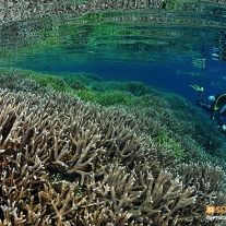Staghorn Coral Diver