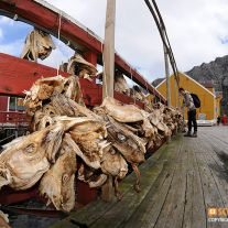 Dried Cod Heads in Nusfjord