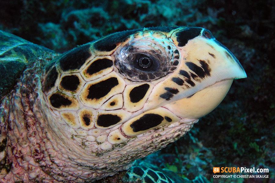 turtle-images-on-scubapixel