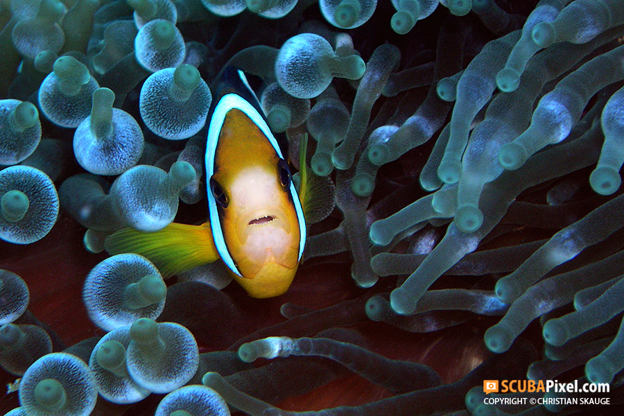 clownfish-on-scubapixel