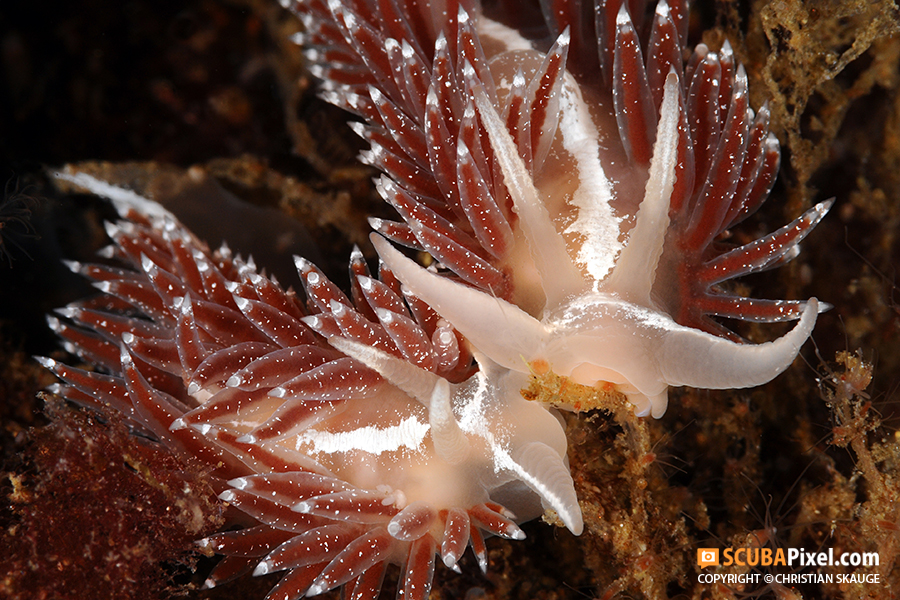 nudibranch-safari-species-list