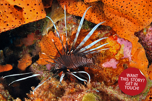 lionfish-in-the-caribbean