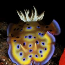 Chromodoris coi
