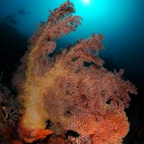 Soft Coral Divers